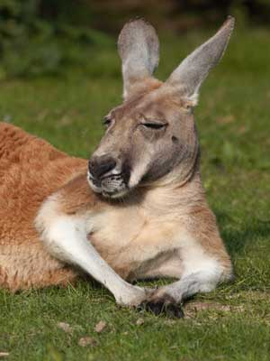 Facts about Kangaroos - Kangaroo Facts and Information