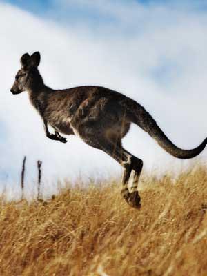 types of kangaroos