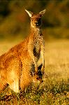 Gray Kangaroo Joey Inside The Pouch Of Her Mother