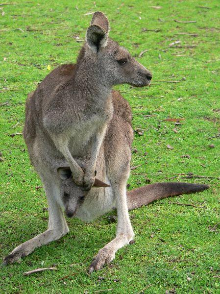 Grey Kangaroo And Joey - Kangaroo Facts and Information