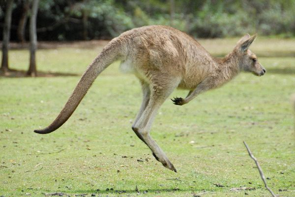 information about kangaroo
