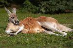 Kangaroo Sunbathing On A Green Field