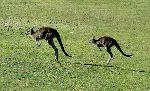 Two Kangaroos Jumping