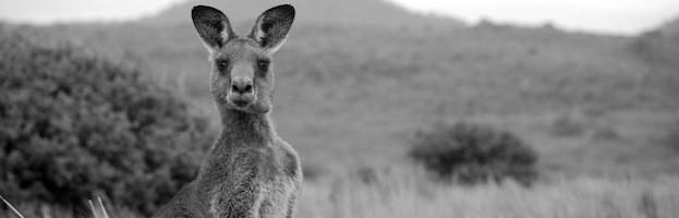 Kangaroos Endangered