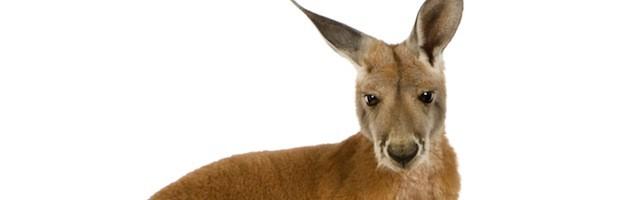 Facts about Kangaroos