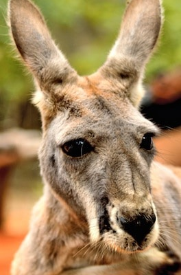 Red kangaroo_picture