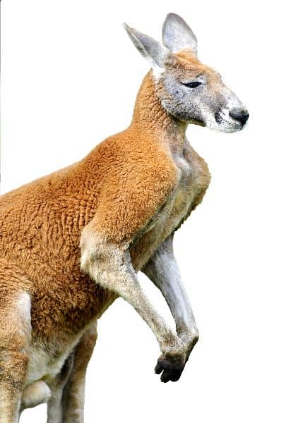 Adult Red Kangaroo