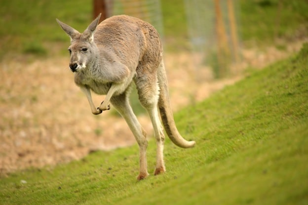 Kangaroo Adaptations facts