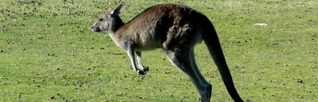 Kangaroo Anatomy Kangaroo Facts And Information