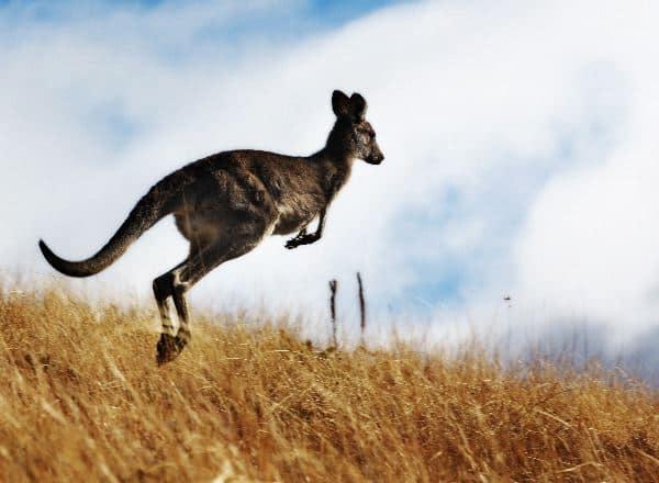 Australian Kangaroo Jumping In The Outback