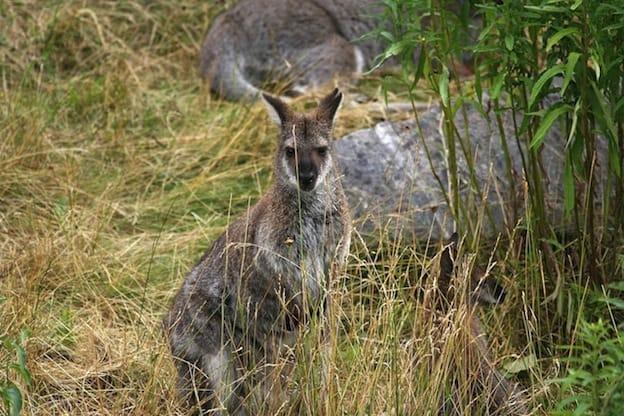 Información sobre el Canguro gris occidental