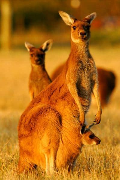 Curious Western Gray Kangaroos