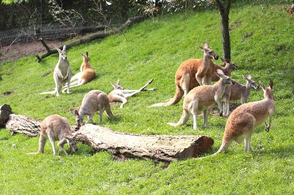 Kangaroo Herd In A Zoo