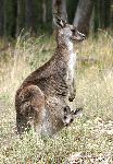 Kangaroo Mother And Joey Peering