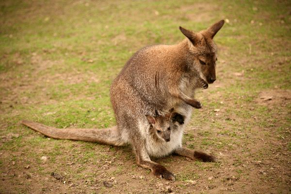 Kangaroo Mother Balancing With Her Tail