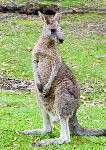 Kangaroo Showing His Long Feet