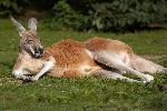 Kangaroo Sunbathing On A Green Field