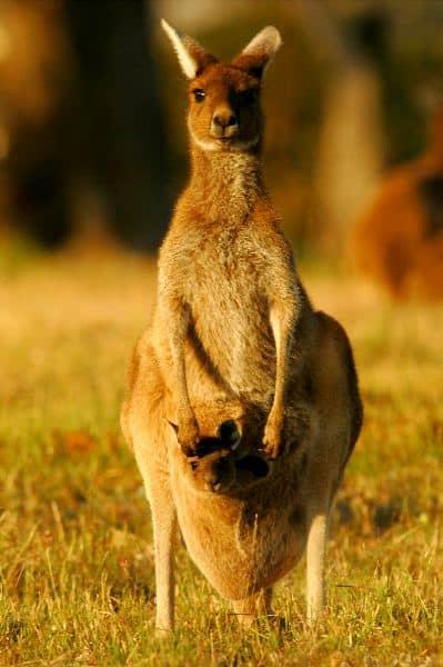 Mother And Joey Gray Kangaroos