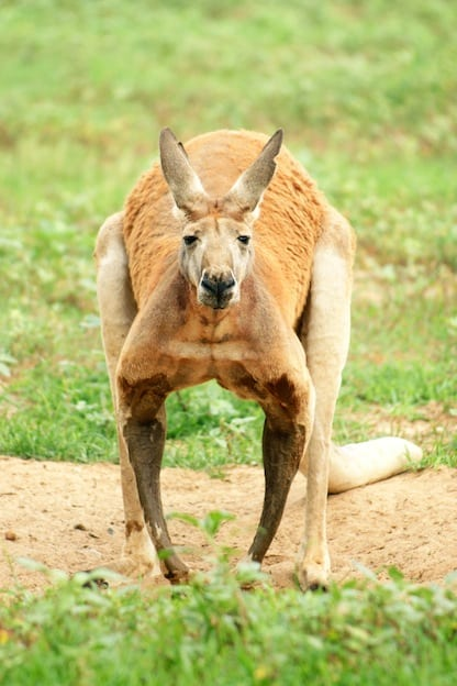 Red kangaroo facts