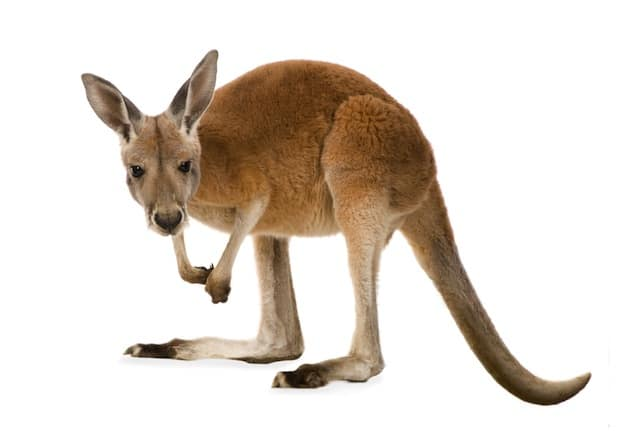 Red kangaroo - The largest marsupial