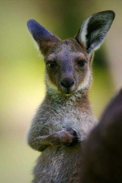 Young Australian Kangaroo