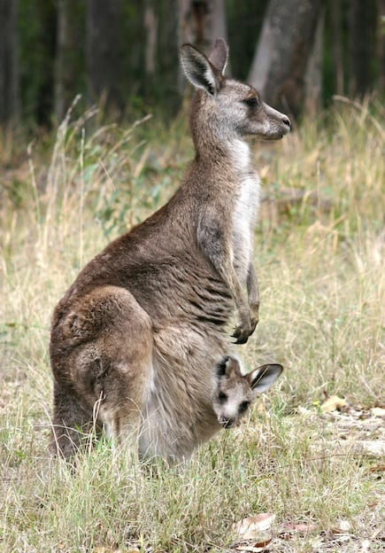 Forester kangaroo facts