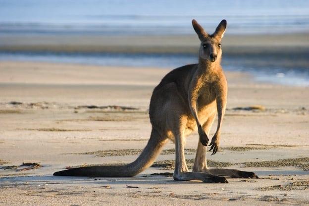 Distribución geográfica de los canguros