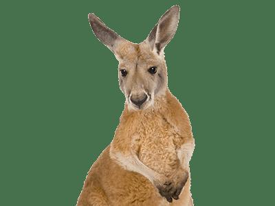 Q Significa Kangaroo Canguro Informaci&#243...