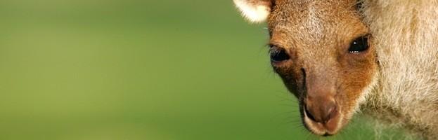 Reproducción de los Canguros - Canguro Información y Características